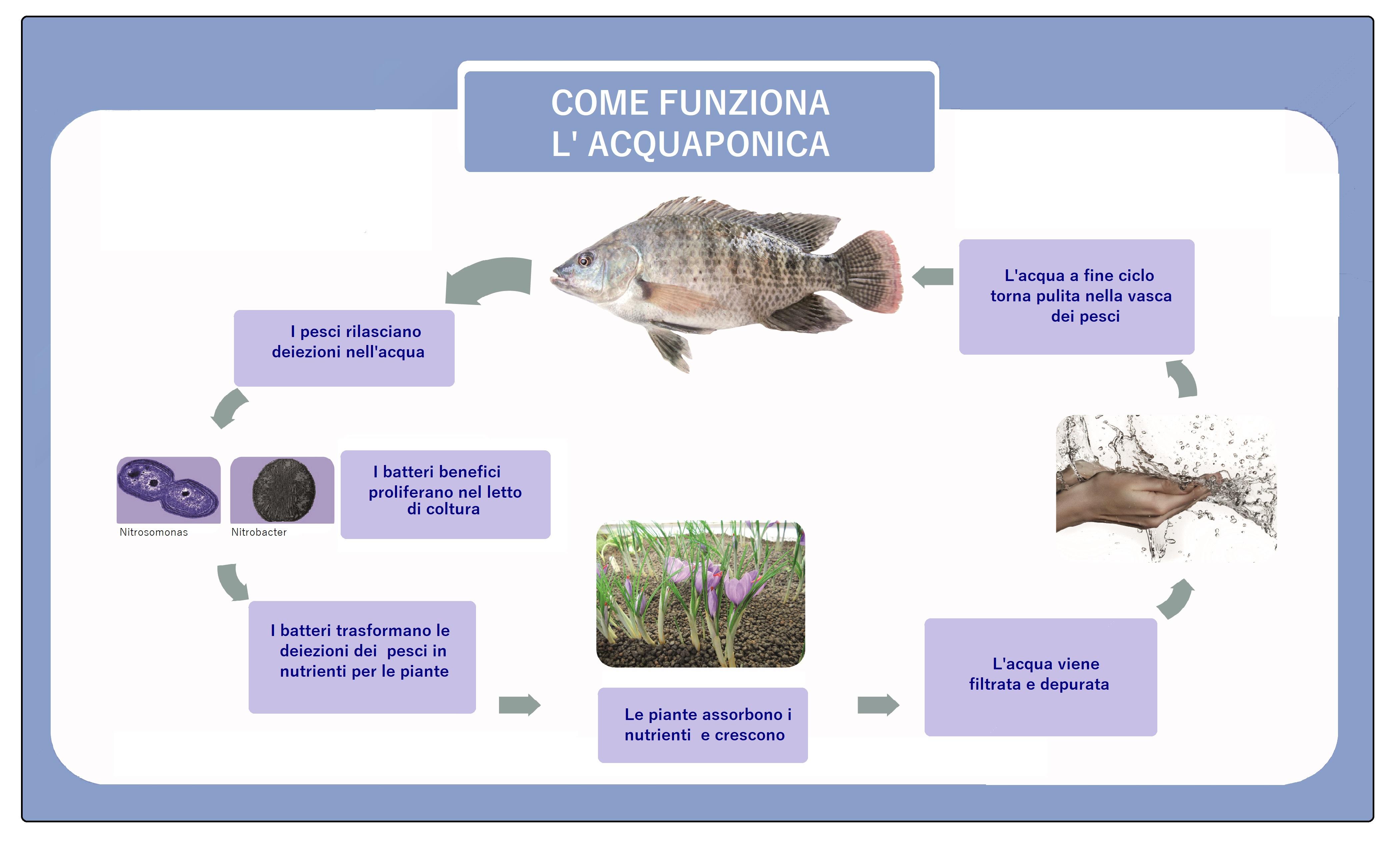 ciclo acquaponico tradotto italiano