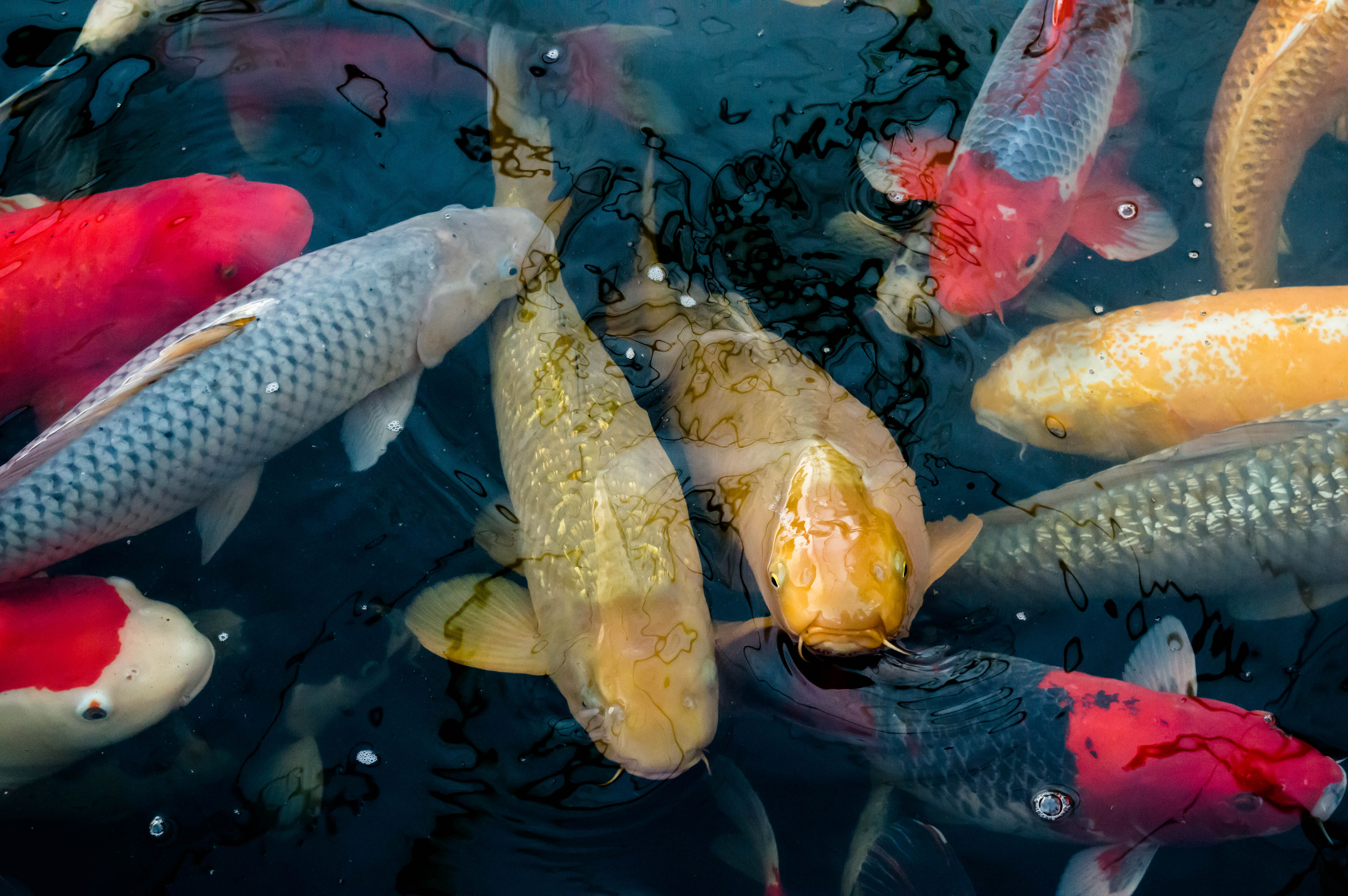 Carpe koi picture pictures for Carpes kois